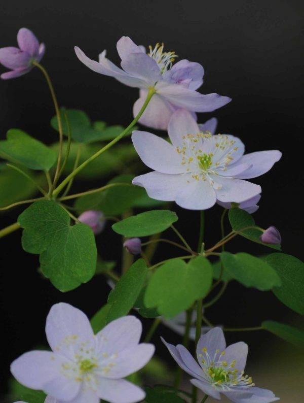 Anemonella-thalictroides-