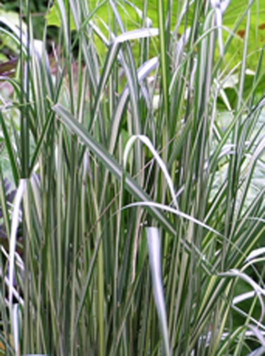 Calamagrostis-Avalanche-1