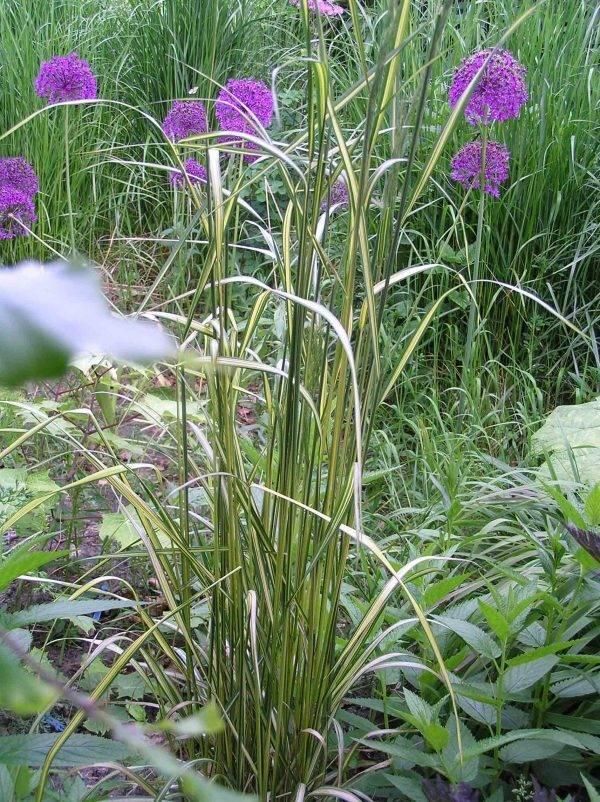 Calamagrostis-Eldorado