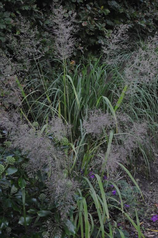 Calamagrostis–Korea