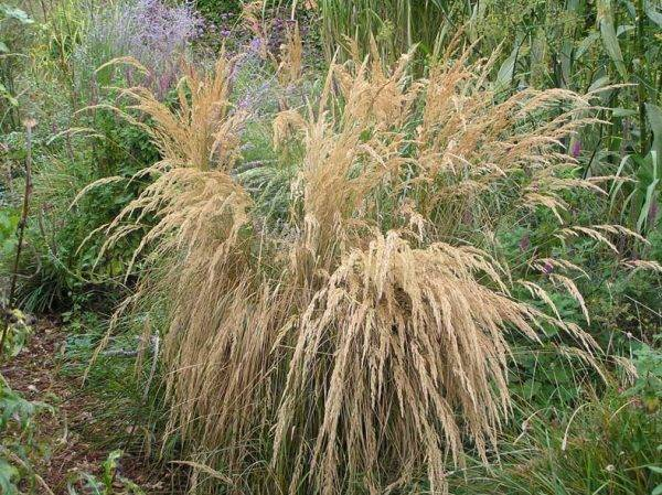 Calamagrostis'Aan-de-Dijk-Select'
