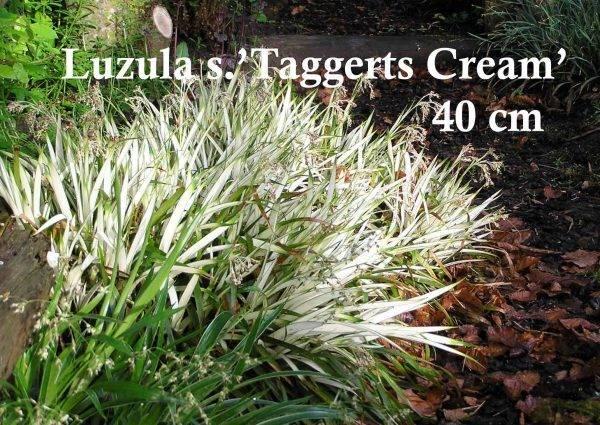 Luzul-'Taggerts-Cream'-
