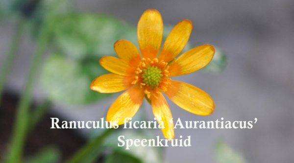 Ranuculus ficaria 'Auranticus'