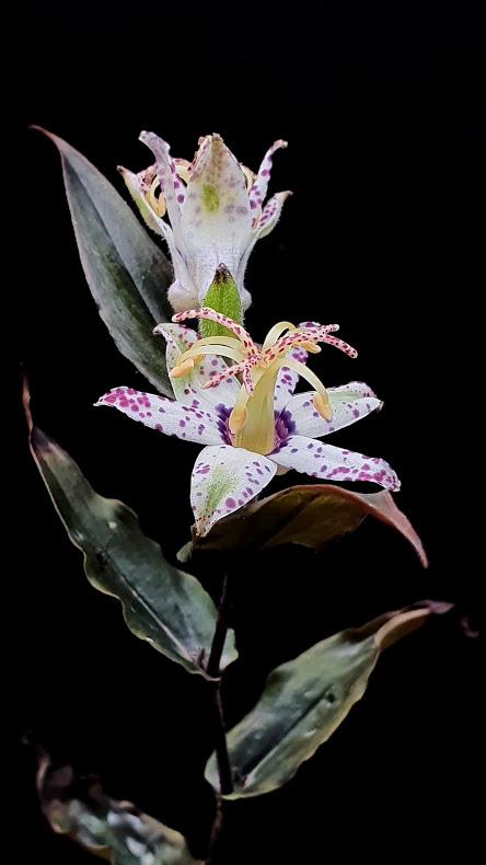 Paddenlelie of arme lui orchidee