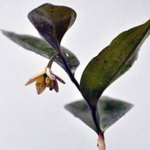 disporum brachystemon