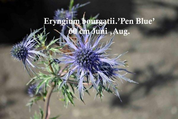 Eryngium-b.-'Penn-Blue'