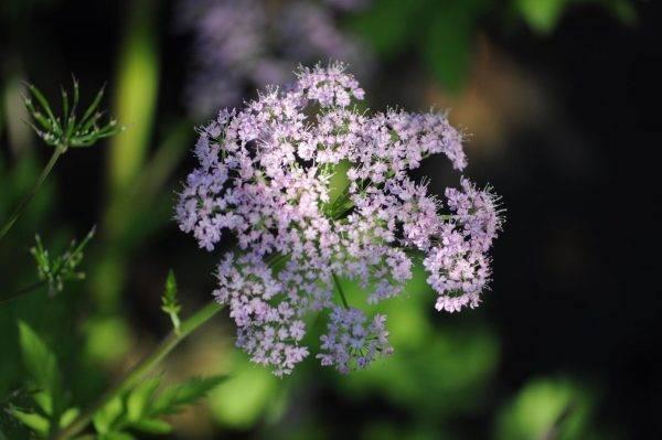 Chaerophyllum-rosea