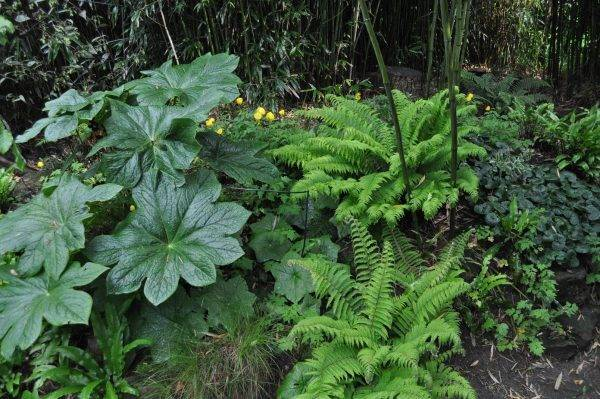 Podophyllum-versipelle-Polystichum-aculaetum-