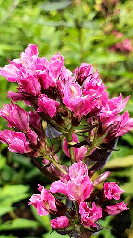 Phlox met opvallende kleine bloemen